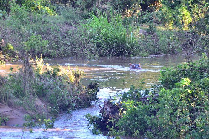 Un hippopotame dans la rivière Sabie